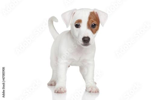 Fotografie, Obraz  Jack Russell puppy