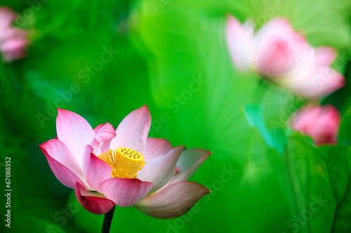 Fotobehang Lotusbloem beautiful pink waterlily or lotus flower in pond