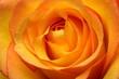 Leinwandbild Motiv Close up of orange rose flower