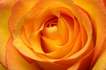 Close Up Of Orange Rose Flower