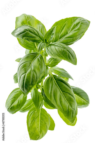 Fotografía  Branch of fresh basil