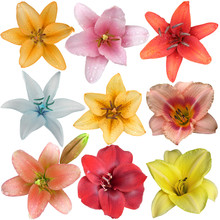 Collection Of Nine Different Lily Flower Heads Isolated On White