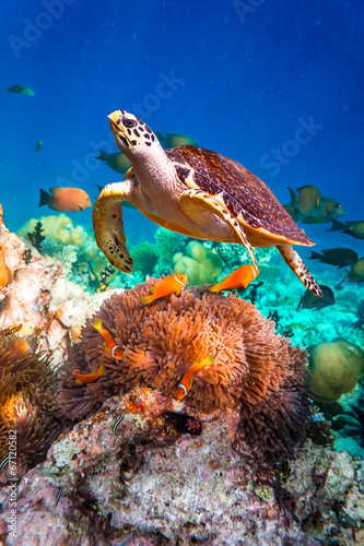 Stickers pour portes Sous-marin Hawksbill Turtle - Eretmochelys imbricata