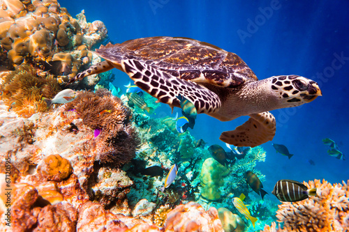 Poster Tortue Hawksbill Turtle - Eretmochelys imbricata