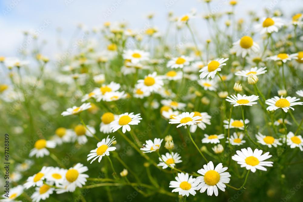 Fototapety, obrazy: Chamomile flowers on sky background