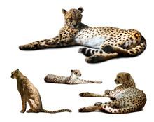 Set Of Cheetah Over White