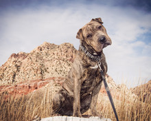 Mixed Breed Rescue Posed By De...
