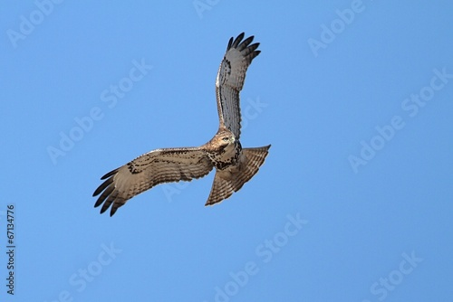 Photo  Red-tailed Hawk Soaring