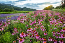 Echinacea And Lavender Field