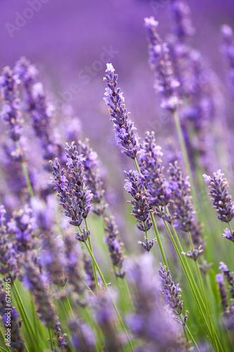 Photo  Lavander flowers