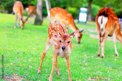 Sika Deer (Cervus nippon) fawn in Japan плакат
