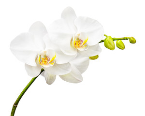 Fototapeta Three day old orchid isolated on white background.