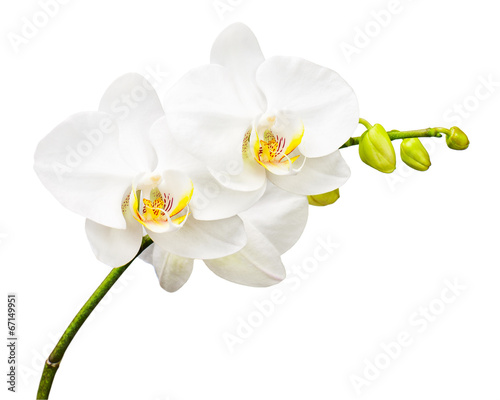 Foto op Canvas Orchidee Three day old orchid isolated on white background.