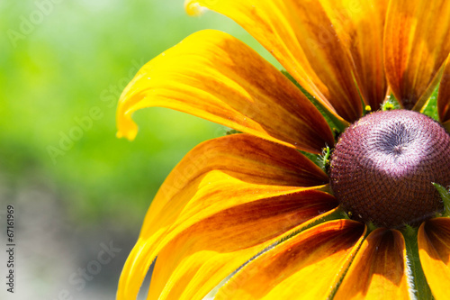 Fotografija  Blooming Rudbeckia  Black-eyed Susan flower