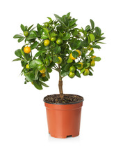 Tangerine Tree In The Pot On T...