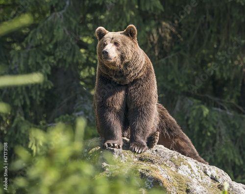 Valokuvatapetti brown bear male