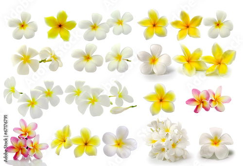 Wall Murals Plumeria Frangipani flower isolated on white background