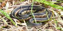 Garter Snake (Thamnophis Sirta...