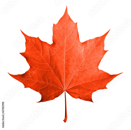 Fotografie, Obraz  Red maple leaf isolated