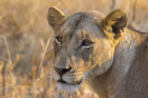 Deurstickers Luipaard Portrait of a lioness in the wild