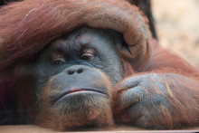 Portrait Of Bornean Orangutan