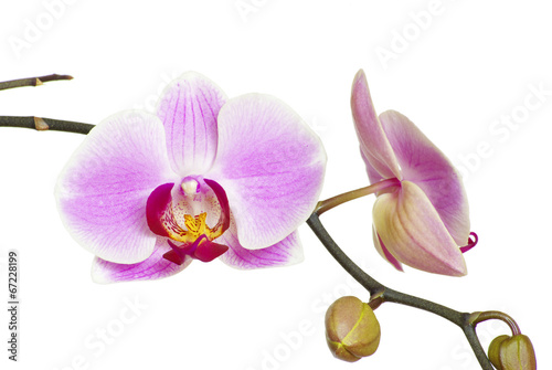 Garden Poster Orchid pink orchid