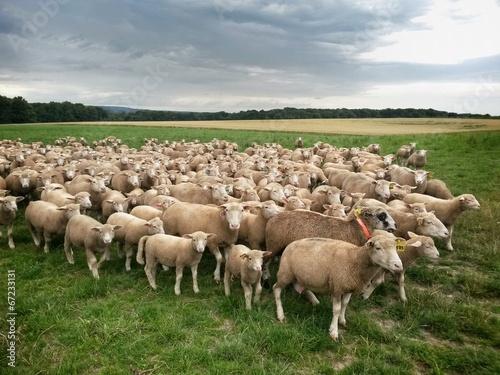 Fotografie, Obraz  Troupeau mouton