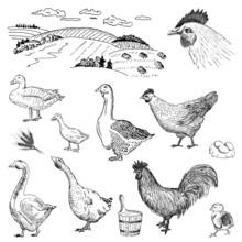 Poultry Yard