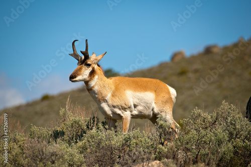 Wild Pronghorn in scrub brush