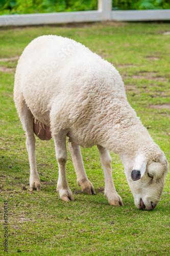 Foto op Canvas Schapen White sheep in the field