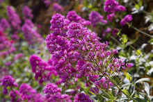 Healthy Pink Buddleja Bush In Full Flowering Bloom