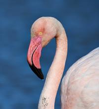 Greater Flamingo Portrait