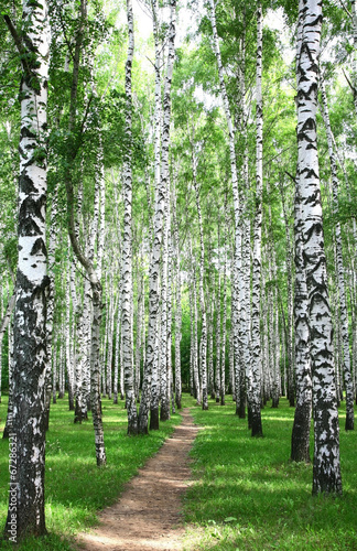Pathway in the summer birch grove