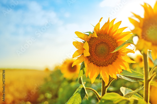 La pose en embrasure Tournesol Sunflowers in the field