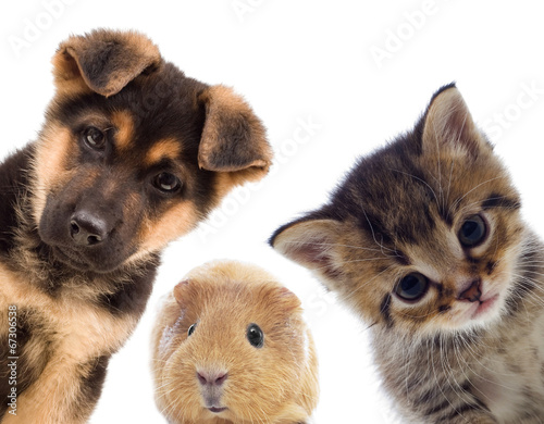 Photo  Puppy and kitten and guinea pig