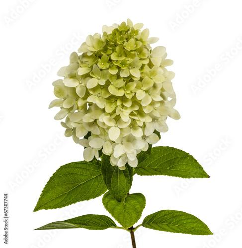 Deurstickers Hydrangea Flowers of hydrangeas paniculata, lat.Hydrangea paniculata, isol