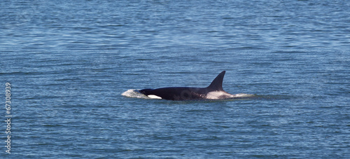Fotografie, Obraz  Young Mature Orca Whale Swimming in the Ocean