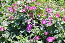 Morning Glories Flowers