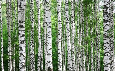 Panel Szklany Do pizzerii Trunks of birch trees in summer