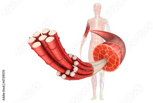 Fotografie, Obraz  Muscle Anatomy