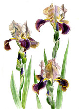 Three Purple-yellow Iris On Stems With Buds Isolated On A White