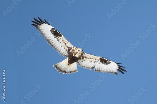 Sticker - Rough-legged Hawk (Buteo lagopus)