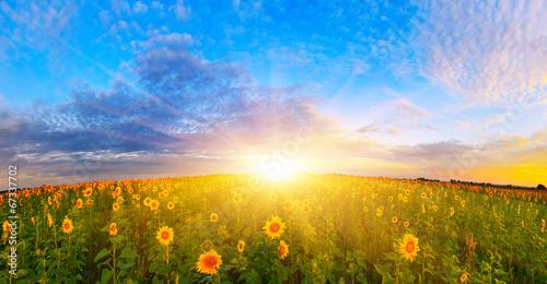 Leinwand Poster Morning sunflower field