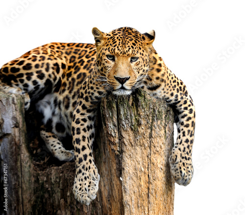 Poster Leopard Leopard Isolated on White Background