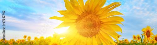 In de dag Zonnebloem Sunflower
