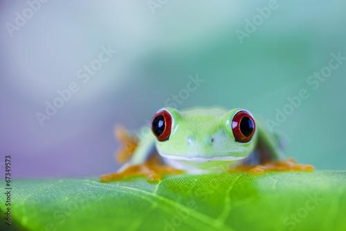 Foto op Aluminium Kikker Green tree frog