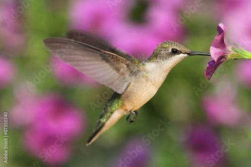 Aufkleber - Ruby-throated Hummingbird