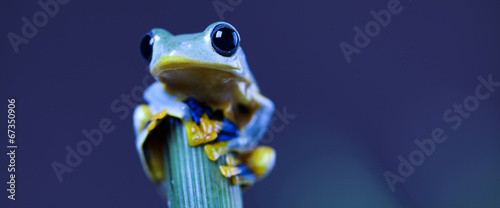 Spoed Foto op Canvas Kikker Exotic frog in indonesia