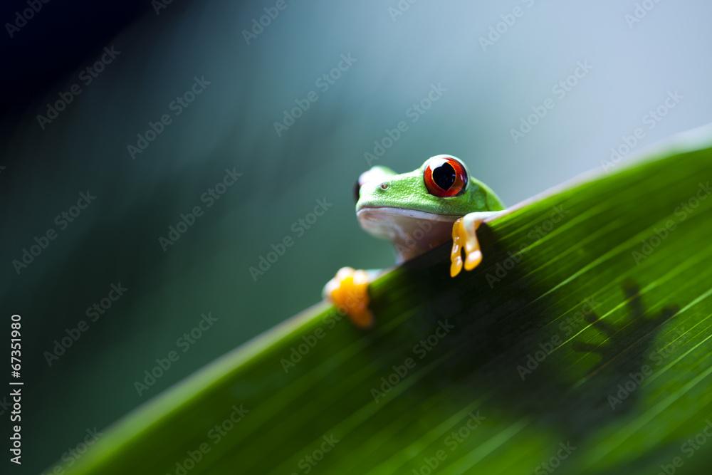 Fototapeta Frog on the leaf