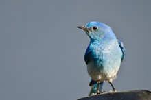 Close Profile Of A Male Mountain Bluebird
